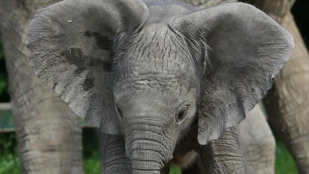 Mirembe is the 22nd elephant to be born at the zoo near Canterbury