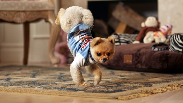 Jiff balances and walks on his front paws (Guinness Book of World Records/AP)
