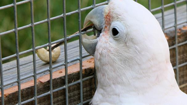 Cockatoos have been observed making and using wooden tools to obtain food