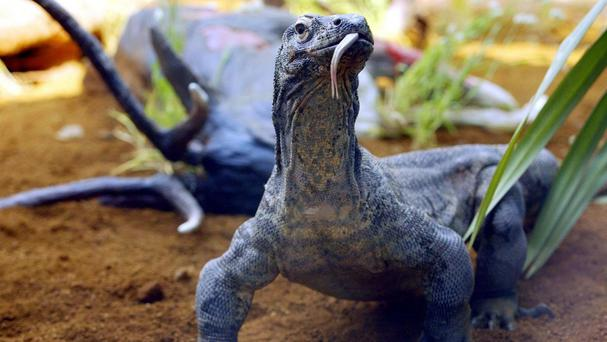Zoo keepers are training a komodo dragon