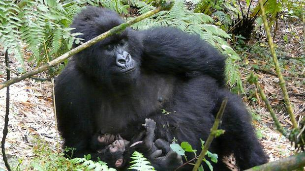 Critically endangered mountain gorillas can be found in World Heritage Sites such as Virunga National Park in the Democratic Republic of Congo