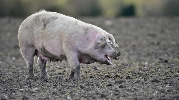 Pigs are allowed to fly on US commercial flights as long as they are not disruptive