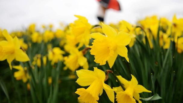 Daffodils can be seen everywhere as we come into Spring