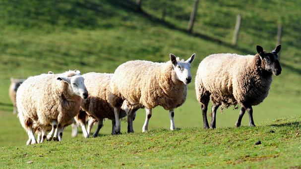 It is a season fraught with hazards for sheep farmers