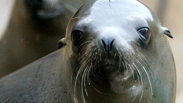 Four times the normal number of sick sea lion pups are being found on beaches in California
