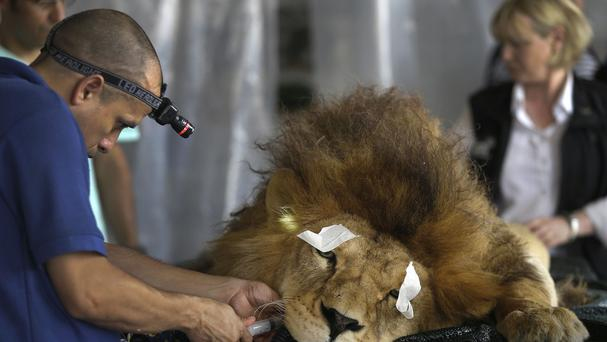 Former circus lion King lies sedated as a vet performs dental surgery, in Lima (AP)