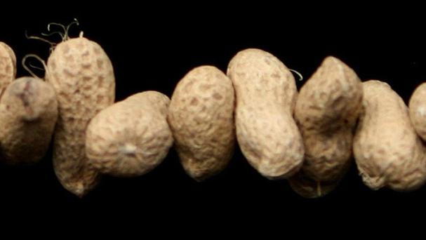 A study has concluded that feeding infants peanuts may be the best way to ensure they do develop an allergy to the food