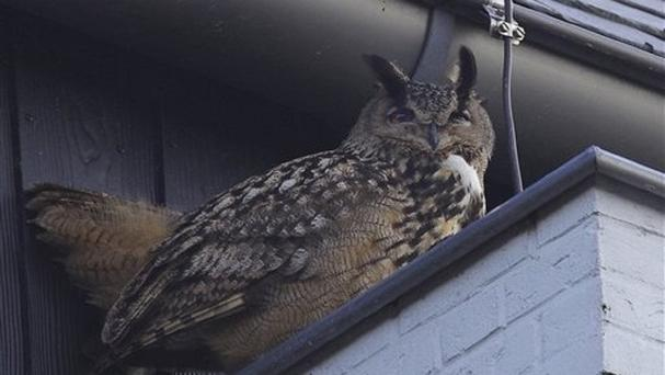 An eagle owl has been targeting residents in Purmerend, Netherlands (AP)