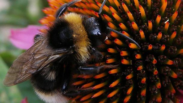 Bumblebees can experience false memories when recalling flower colours, research suggests