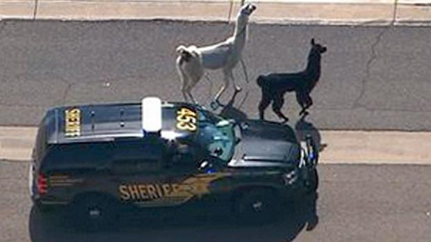 Police try to control the llamas as they dash in and out of traffic (abc15.com/AP)