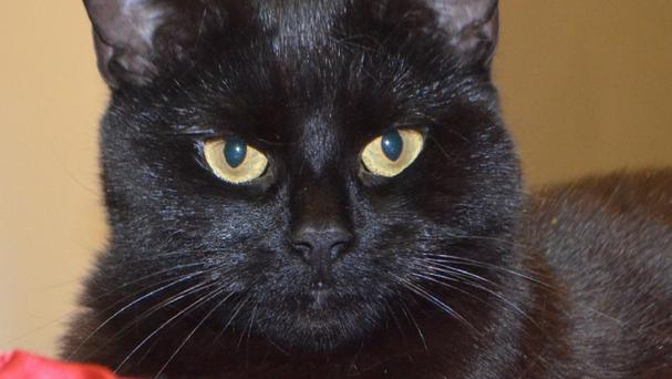 Jubilee the cat now lives with her new owner on the Isle of Wight (Battersea Dogs & Cats Home/PA)