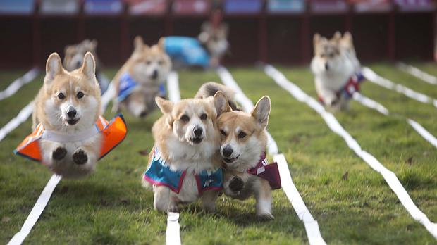 Corgis race each other in Bedford Square, London, in a bid to determine the name of the next royal baby