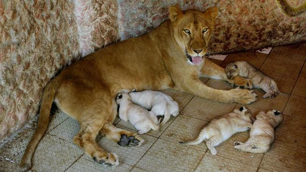 Queen with her five cubs at the house of her owner in Multan, Pakistan (AP)