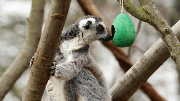 A lemur investigates a hollow papier mache egg as part of an Easter event at London Zoo in Regent's Park