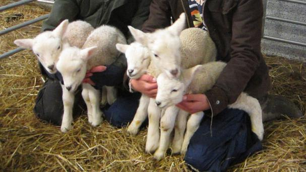 The rare set of quintuplet lambs born to Blodwyn the ewe (National Trust/PA Wire)