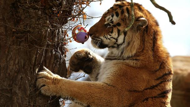 Staff at Blair Drummond Safari Park give their the Amur Tigers Bela and Genghis an Easter Monday treat