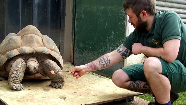 An Aldabra tortoise is being weighed at Paignton Zoo (Paignton Zoo/PA)