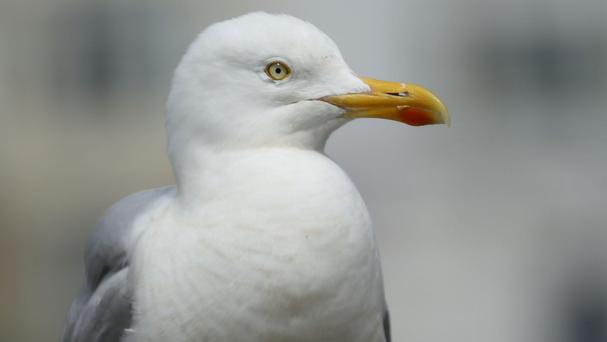 Barristers say seagulls have been causing a nuisance near the Royal Courts of Justice in London