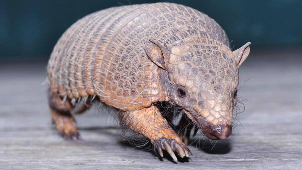 Armadillo (stock image)