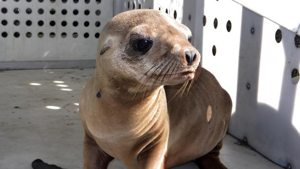 The rescued sea lion pup This photo provided by Peter Wallerstein of Marine The sea lion pup found hiding after another one was abducted (AP/Marine Mammal Rescue)