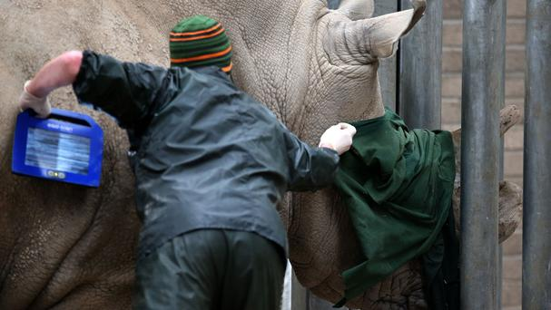 Vet Colin Scott covers the eyes of Lucy, a two-tonne rhino who is struggling to mate with her partner, as she prepares to undergo an ultrasound at Blair Drummond Safari Park in Scotland