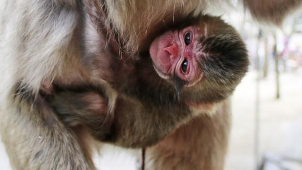 The newborn baby monkey clings to her mother at the zoo in Oita, southern Japan (The Takasakiyama Natural Zoological Garden via AP)