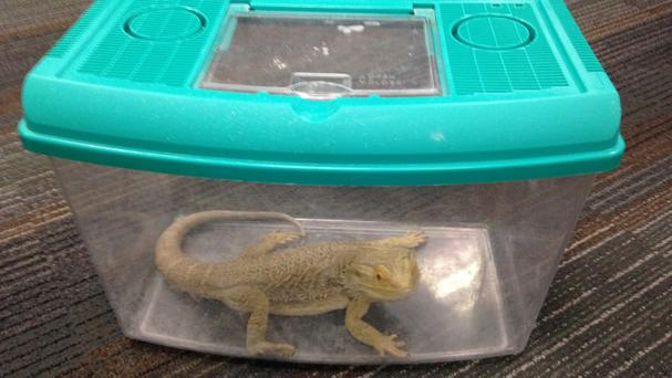 Blakey the bearded dragon was found in a plastic container on board a bus (Scottish SPCA/PA Wire)