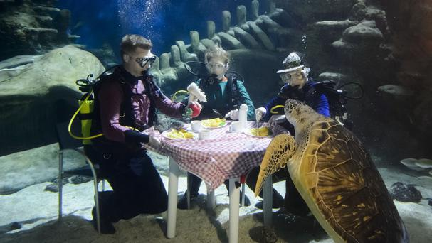 Divers at the Sea Life London Aquarium took to the depths of the million litre Ocean Display tank to tuck in to a traditional Friday fish supper