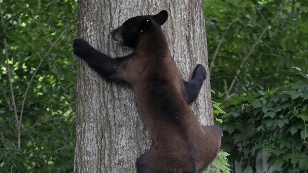 Black bear spotted in US State Indiana for first time in 144 years