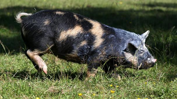 Pigs have helped university students cope with the stress of exams