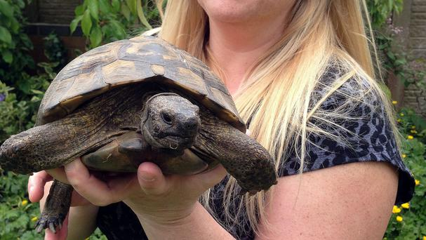 Debbie Acton believes Bobby, a 37-year-old Hermann's Tortoise, has gone missing twice in the last week in search of a female