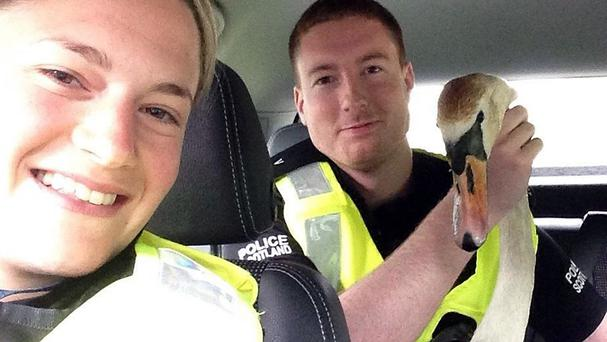 Constables Lisa Ritchie and Ryan Campbell caught the swan after it was spotted on the road at Tongland, Kirkcudbright. (Police Scotland/PA)