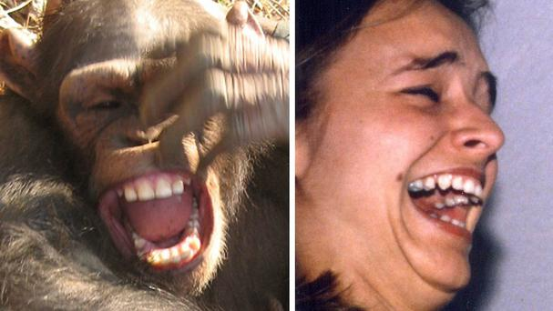 Chimpanzees have the same types of smiles as humans when laughing, according to new research (University of Portsmouth/PA)