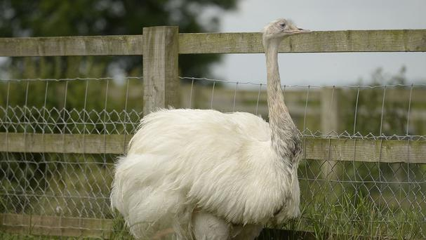 The female partner of the missing rhea which is on the loose from a private collection in Carlton-in-Lindrick near Worksop, Nottinghamshire