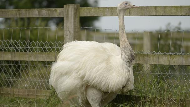 The female partner of the rhea which went missing in Carlton-in-Lindrick near Worksop
