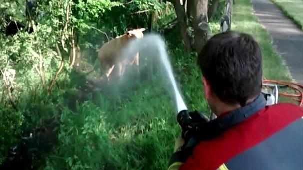 A firefighter aims his hose at a bull while RSPCA rescuers attempted to help a cow whose head was lodged between two trees (RSPCA/PA Wire)