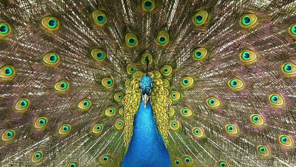 Someone called the police 101 number to report a stray peacock in their garden