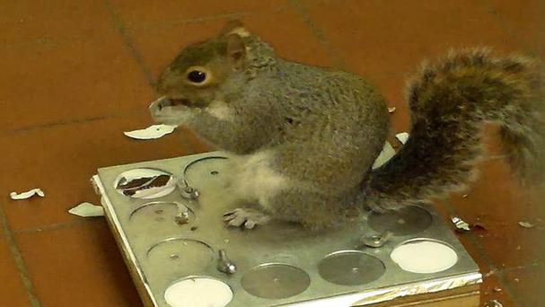 Simon the squirrel solving a puzzle involving hidden hazelnuts (University of Exeter/PA)