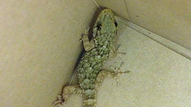 A stowaway gecko found in a holidaymaker's luggage after they returned from home to the UK from Spain