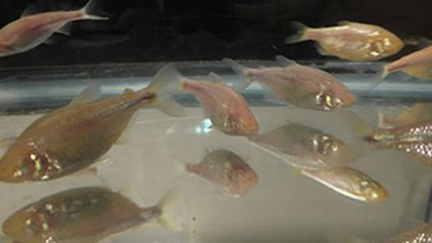Blind cavefish are genetically wired for big appetites in the same way as obese humans, research has shown (Harvard Medical School/PA)