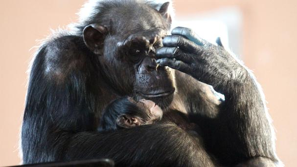 50 chimpanzees held by the US government for medical research will be sent to sanctuaries