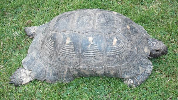 A tortoise which was among 20 stolen from a breeder (Handout/PA)