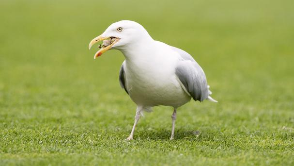 The Government has scrapped plans to spend £250,000 on research into how to deal with growing numbers of seagulls in towns and cities