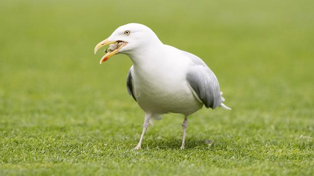 A 999 caller urged police to use CCTV to track down the seagull that stole his sandwich