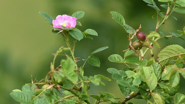 A rare rose named Rosa Canina ex Rubiginosa which has been discovered at Tutbury Castle in Staffordshire
