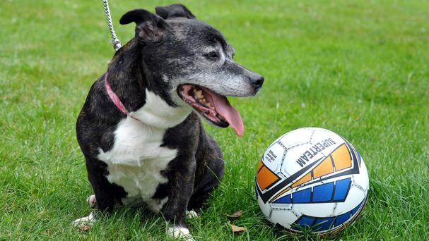 Staffordshire bull terrier Brunetta after she had a football-sized tumour removed by PDSA staff in Stoke-on-Trent (PDSA/PA)
