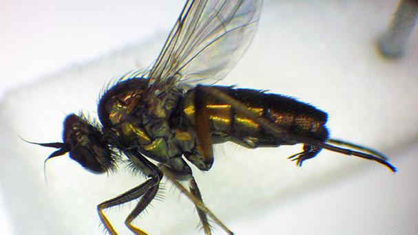 The Rhaphium pectinatum fly was thought to be extinct but almost 150 years later has been found at the Devon Wildlife Trust's Old Sludge beds nature reserve, near Exeter