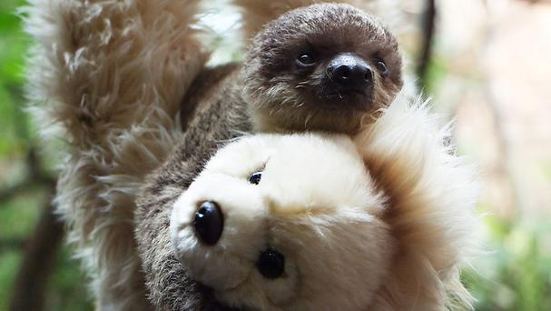 A teddy bear is giving a sloth lessons in gripping on to things, replacing the role of the animal's mother who is unable to care for her offspring