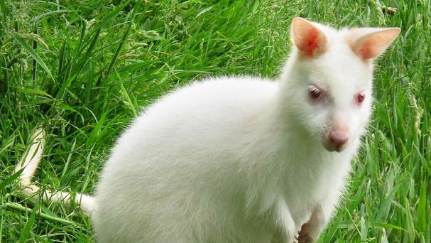 The last recorded sighting of a white wallaby was in 2013
