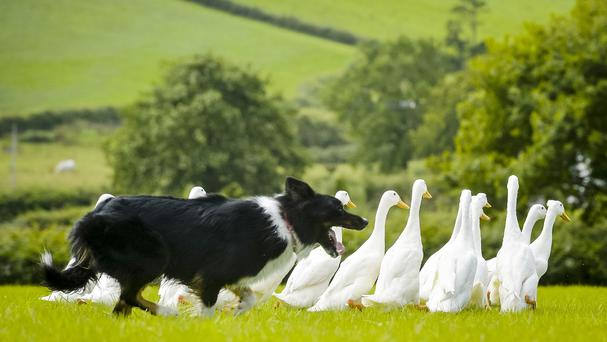 Sam, a border collie sheepdog, herds a flock of Indian runner ducks